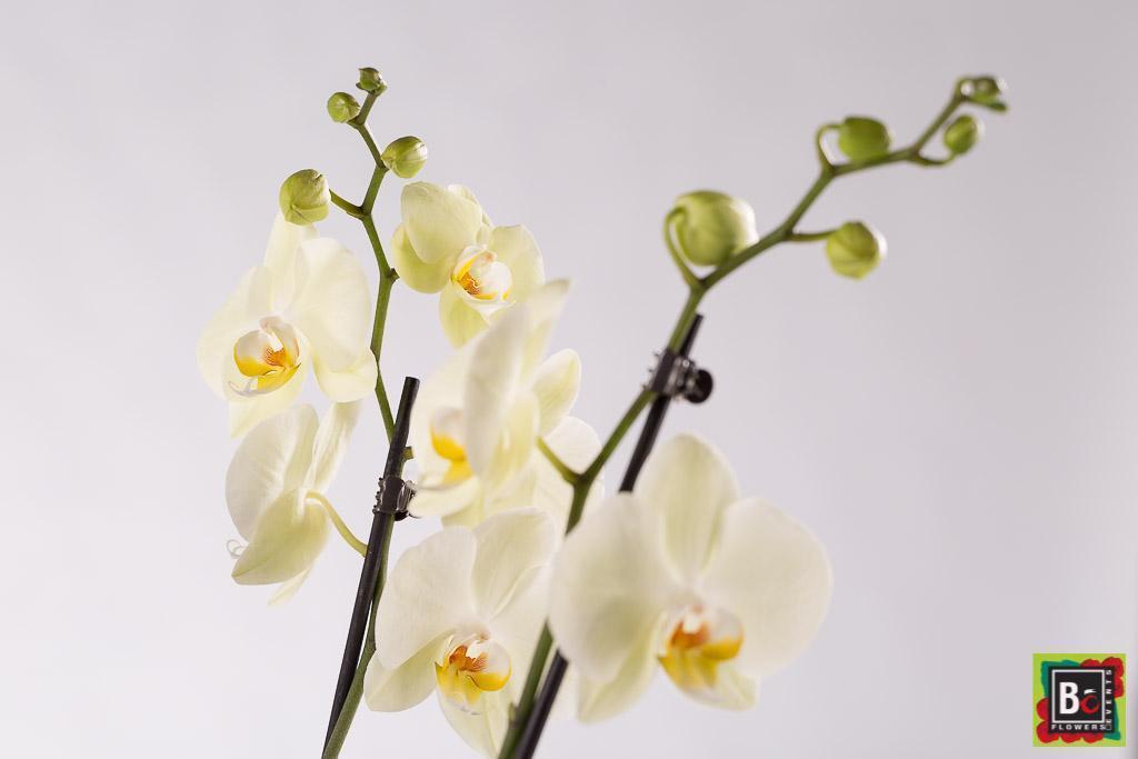 livraison d'orchidées